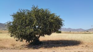 Арганово дърво Мароко